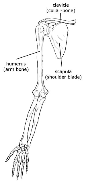 Upper limb (hand, forearm, arm), shoulder blade, collar-bone