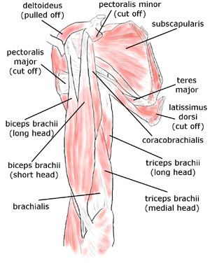Shoulder and rotator cuff muscles: biceps brachii, brachialis, coracobrachialis, deltoideus, latissimus dorsi, pectoralis minor, pectoralis major, subscapularis, teres minor, teres major, triceps brachii
