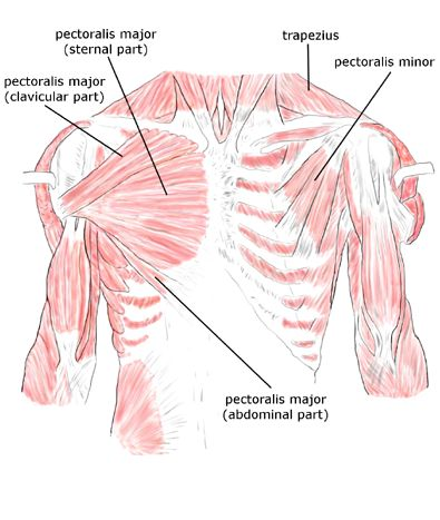 Periscapular muscles: pectoralis major (abdominal part), pectoralis major (clavicular part), pectoralis major (sternal part), pectoralis minor, trapezius